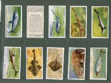 Tobacco cigarette cards Sea Fishes 1935 by Player`s
